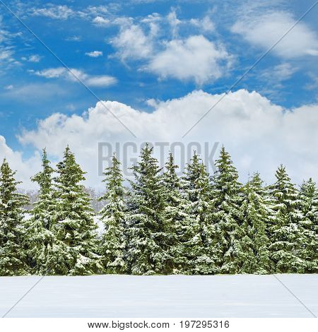 Beautiful winter landscape: field covered with snow and spruce.