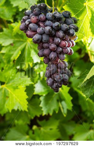 Healthy Fruits Red Wine Grapes Riping In The Vineyard, Dark Grapes/ Blue Grapes/wine Grapes,  Bunch