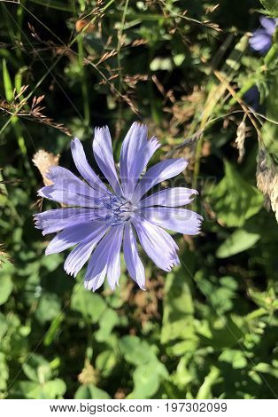 Common Chicory or Cichorium Inybus blossom with blurred green plants in the background