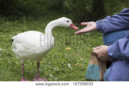 Unrecognisable female hand feeding the ducks outdoors