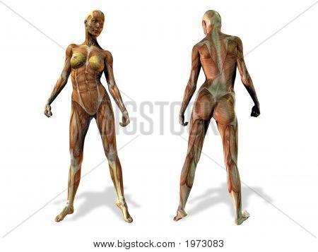 Female Anatomy Illustration
