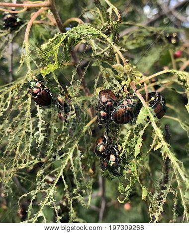 Japanese or Popillia Japonica beetle infestation destroying leaves on a tree