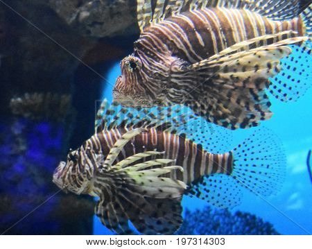 Fantastic pair of lionfishes swimming along underwater.