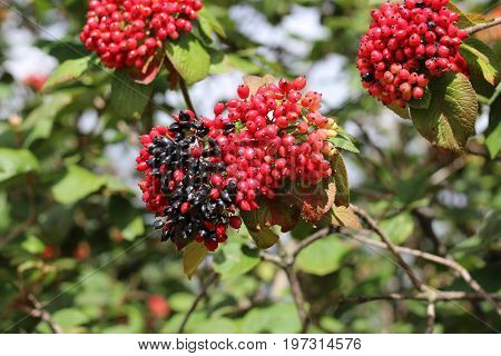 The fruit Viburnum lantana. Is an green at first, turning red, then finally black, wayfarer or wayfaring tree is a species of Viburnum.
