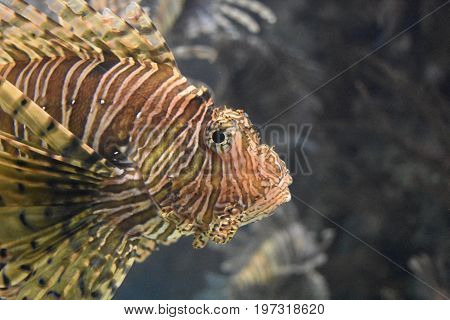 Amazing brown and white striped butterfly cod swimming under the water.