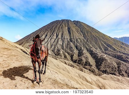 Horses for tourist rent at Mount Bromo of the Tengger massif East Java Indonesia