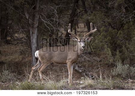 Mule Deer in the Grand Canyon National Park Arizona USA