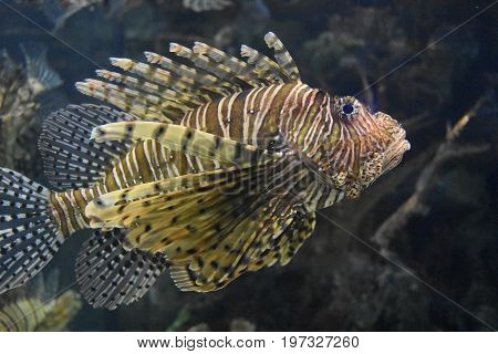 Great look in the underwater world with a lionfish swimming.