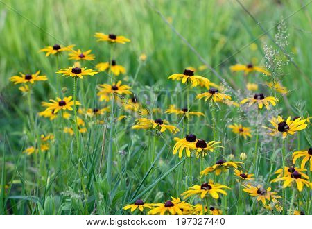 Yellow black eyed susans appear in a a grassy field.