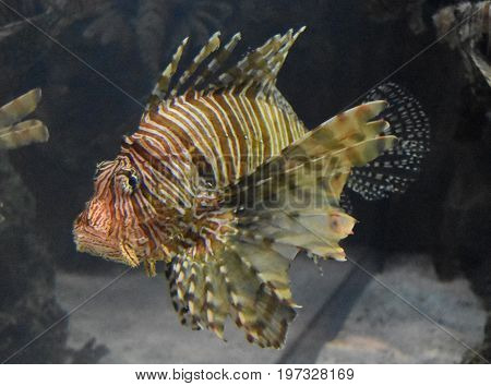 Great look at a turkeyfish with stripes under the water.