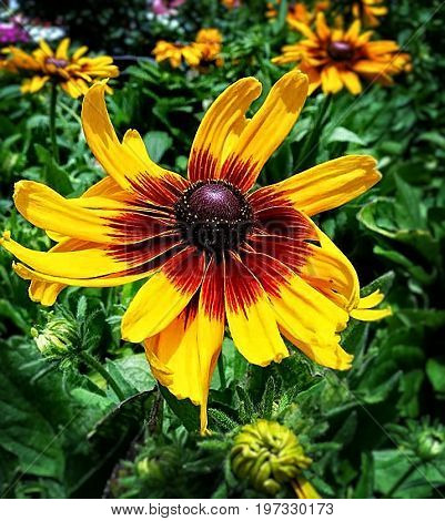 Close up of a lazy susan daisy flower