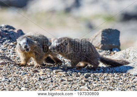 Juvenile Marmots playing.  Marmots are common in the Rocky Mountains and are very sociable animals. They are related to squirrels.
