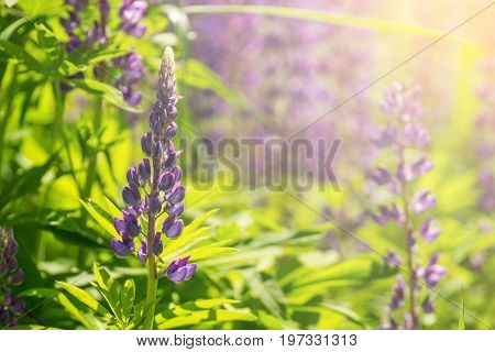 Blooming lupine flowers. A field of lupines. Violet spring and summer flowers. Gentle warm soft colors, blurred background.