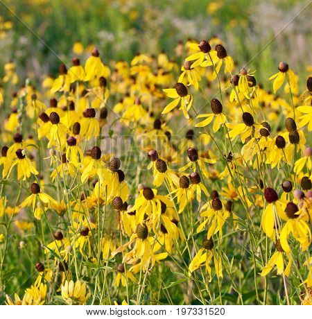 Black eyed susan's appear in a sunny meadow.