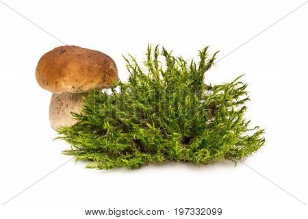 White mushroom. One mushroom about moss. Porcini and moss