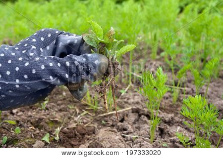 hand weeding bed with carrot in the vegetable garden