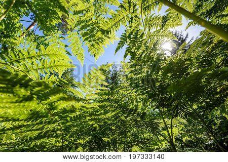Beautiful Green Fern Leaves Under Sunlight In The Woods From Below