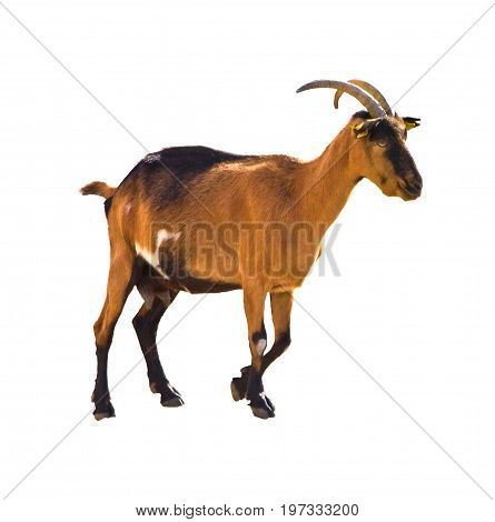 Close up isolated capra femail wild mountain goat spain cantabria