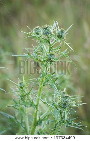 Thistle buds on a summer field. Thistle plant is the symbol of Scotland