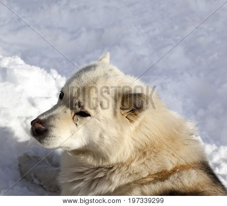 Dog Resting On Snow