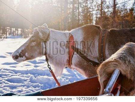Reindeer With Sledding In Winter Forest In Lapland Northern Finland