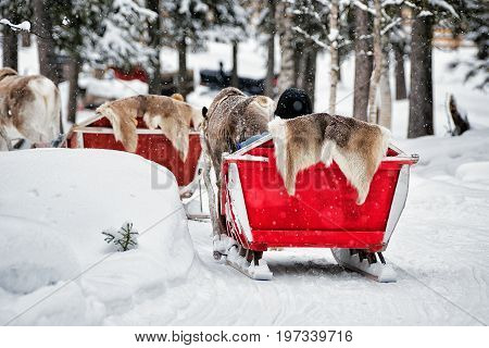 Reindeer Sleigh Safari And People Forest Lapland Northern Finland