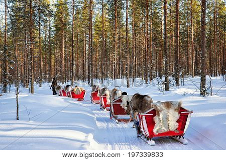 Reindeer Sledding Safari With People Forest Lapland Northern Finland