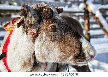Reindeer On Farm Winter Lapland Northern Finland