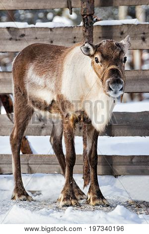 Reindeer In Winter Farm In Lapland Northern Finland