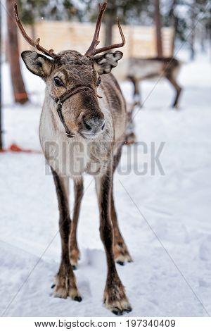 Reindeer In Farm At Winter Lapland Northern Finland