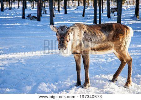Reindeer At Farm In Winter Northern Finland