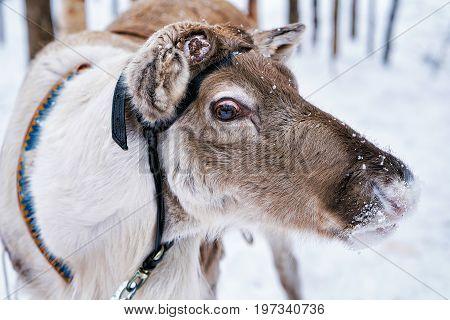Reindeer At Farm In Winter Lapland Northern Finland