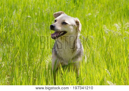 Smiling Puppy sits with open mouth at green grass spring summer