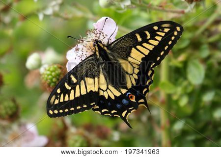 Oregon Swallowtail Butterfly (Papilio oregonius) on blackberry flowers