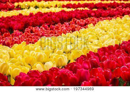 Flower park in Holland tulip field Netherlands, Keukenhof