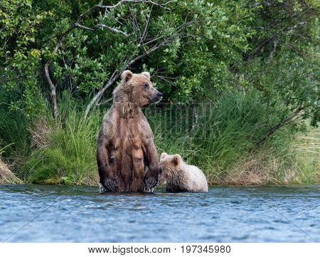 Brown Bear Sow And Cub In Brooks River