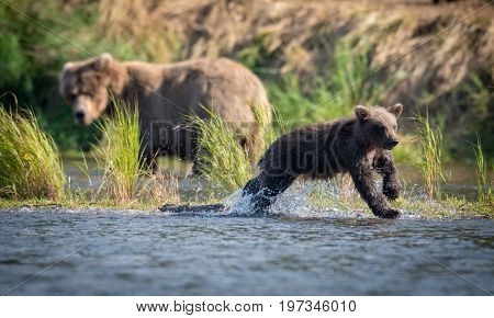 Alaskan Brown Bear Cub In River