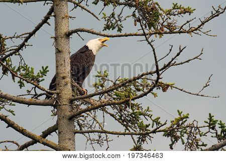 Bald Eagle Perched In A Tree