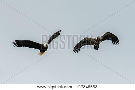 Mature And Immature Bald Eagle