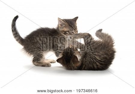 Two Kittens Playing On White