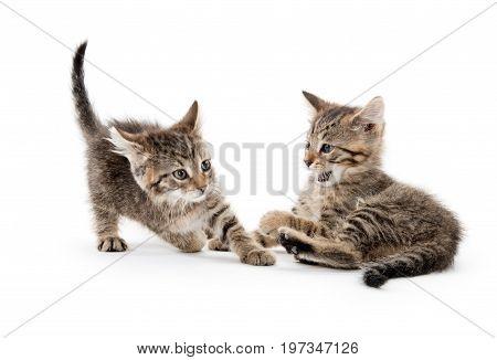 Cute Tabby Kittens Playing