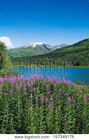 Fireweed And Lake In Alaska