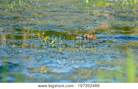Otters in the river in spring time