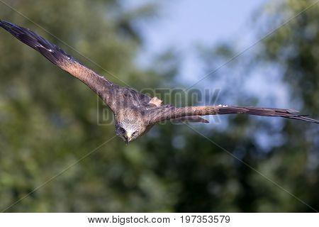 Bird of prey attacking. Animal hunting. Red kite (Milvus milvus) in high speed stoop.