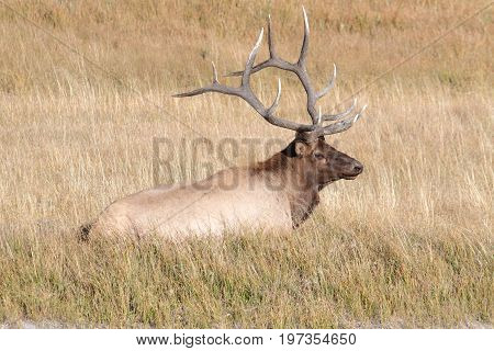 Majestic Bull Elk (Cervus canadensis) in in Yellowstone National Park