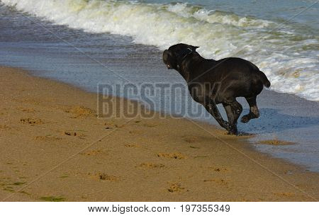 Rottweiler dog running on the sand by the sea