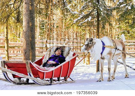 Woman At Reindeer Sled Caravan Safari Forest Lapland Northern Finland
