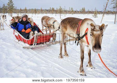 Reindeer Sled Caravan Safari And Girl Forest Lapland Northern Finland