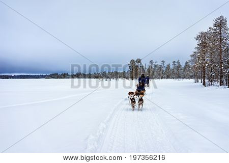 People On Husky Dogs Sledges Winter Lake Lapland Northern Finland