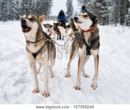 People On Husky Dogs Sledding In Winter Forest Northern Finland